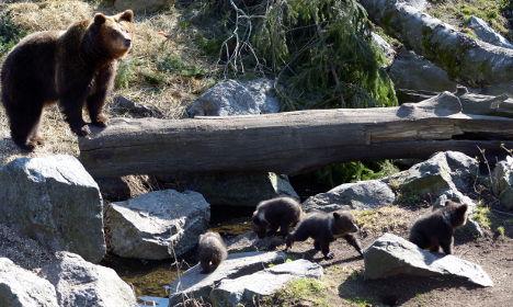 The Swedish bear quadruplets that will make you go 'awww'