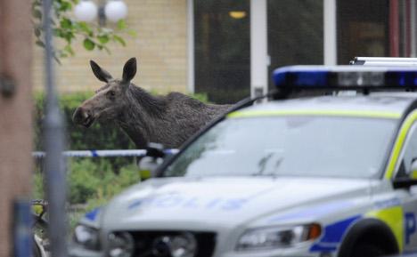 Baby elk go on the run around Swedish town