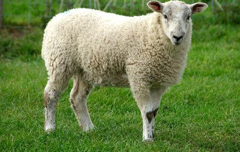 Italian shepherd who offers 'lawnmower sheep' fined €12k