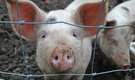 Spanish town fined for staging bizarre 'slippery swine' race