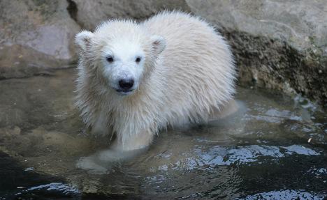 Polar bear cub Lili leaps into public's hearts in Bremen