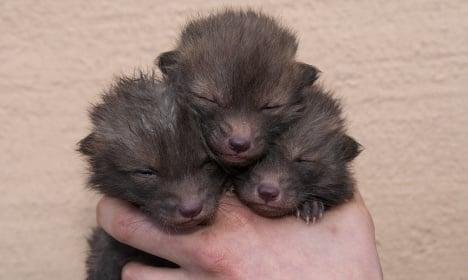 Triple cuteness! Swedish zoo keeper adopts these fox cubs