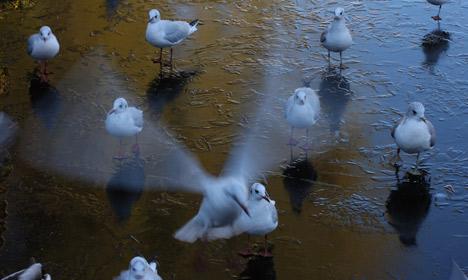 Seagulls 1, Aarhus 0