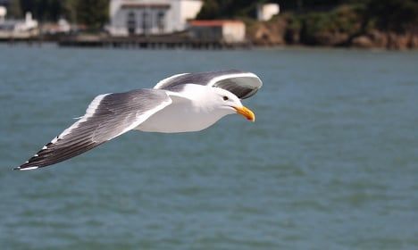 Trained hawks will keep gulls away from Cannes VIPs