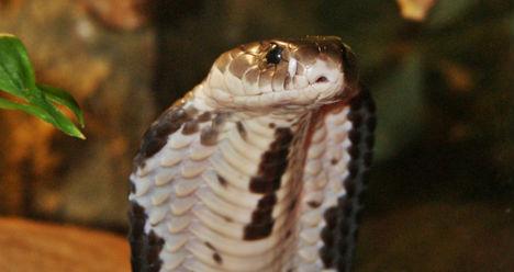 Venomous snake on the loose near Vienna