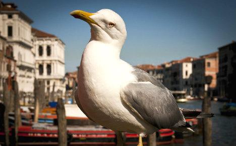 Food-nabbing gulls go beserk in Venice's St Mark's Square