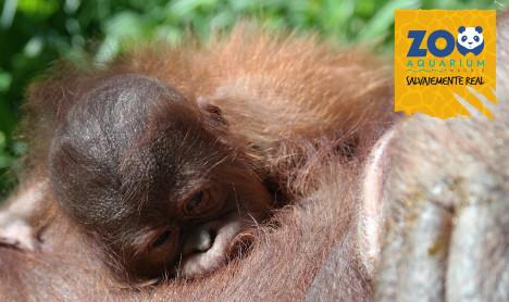 Oh baby! Rare orangutan birth celebrated at Madrid Zoo