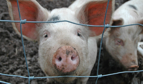 Spanish dad loses custody after giving son pig medicine