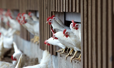 Cage eggs soon to be a thing of the past in Denmark