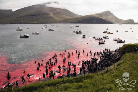Up to 50 pilot whales killed in Faroes: activists