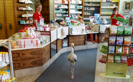 Starving stork is unexpected customer at pharmacy
