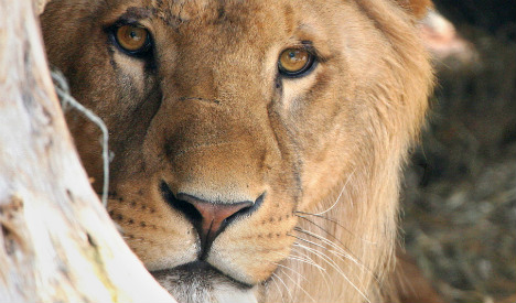 Lions escape from enclosure in zoo south of Berlin