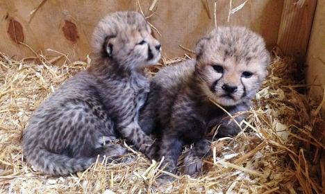 Swedish zoo hails rare birth of these super cute cheetah cubs