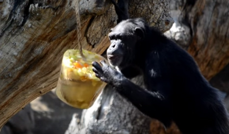 Zoo animals enjoy ice lollies to cool off in Spain's heatwave