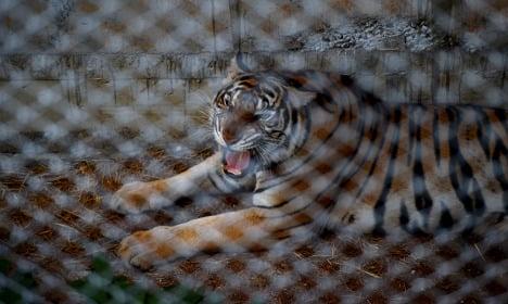 Tiger kills zookeeper at animal park in Benidorm