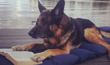 Why this Swedish police dog has been hailed as a hero