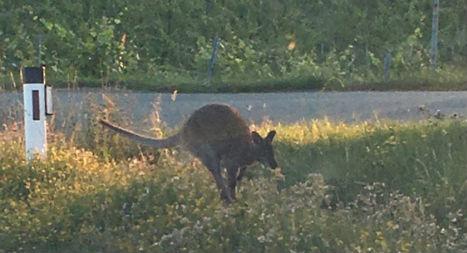 Escaped kangaroo on the run in Austria