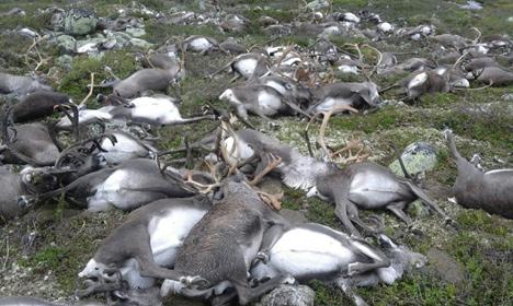 323 reindeer killed by lightning in Norway