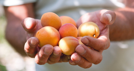 Valais battles to save famous apricots from fruit fly