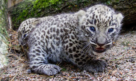 One of Sweden's rare Persian leopard cubs escapes its pen
