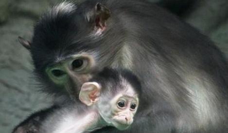 Cheeky monkey! Endangered Mangabey born in Barcelona