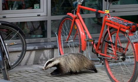 Swede walks into McDonald's carrying a deceased badger