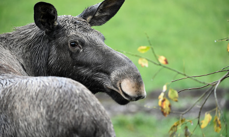 Furious elk mum attacks Swede, breaks his arm