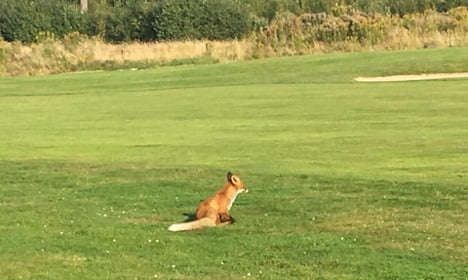 Watch this fox steal the ball right in front of Swedish golfer