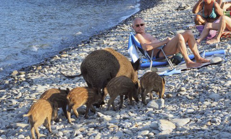 Wild boar and piglets share French beach with bathers