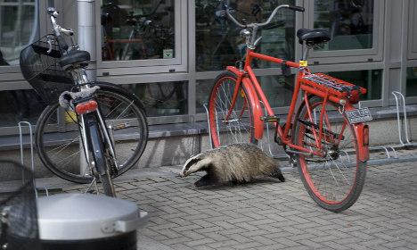 Stockholmers hunt killer badger after hipster cat attack