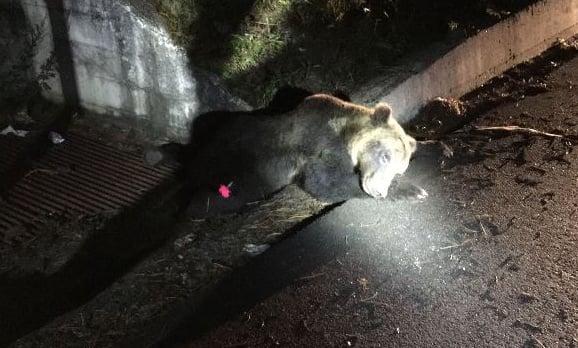 Endangered Italian bear killed in suspected hit-and-run