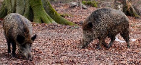 Plague of wild boar ruin gardens in Eisenstadt