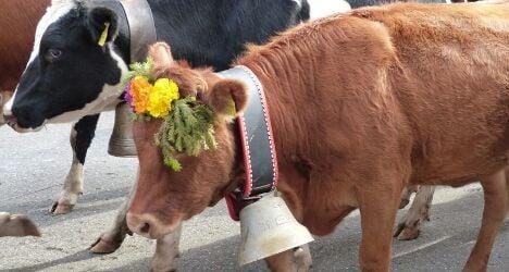 Thief returns cow bells worth thousands