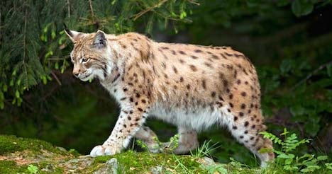 Lynx shot after posing a risk to humans