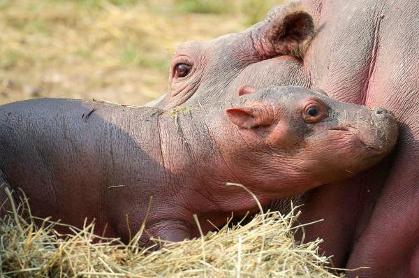 Video: Italian zoo asks public to name adorable baby hippo