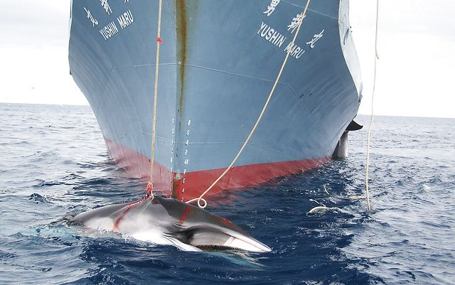 Norway under renewed fire for 'undermining' whaling ban