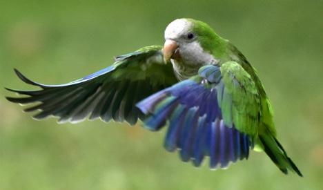 Pets or pests? Quaker parrots invade Madrid parks