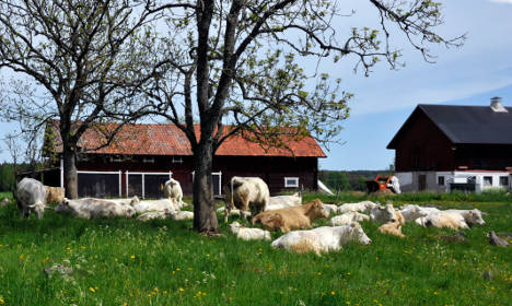 Fire truck collision kills 37 cows in Sweden