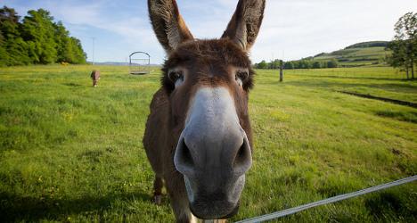 Swiss choc master creates donkey's milk chocolate