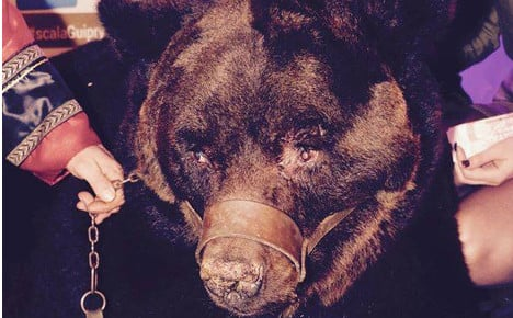 Bear taken to disco in Brittany and internet gets very angry
