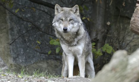 Wolf kills beloved pet dog at farmhouse door in Galicia