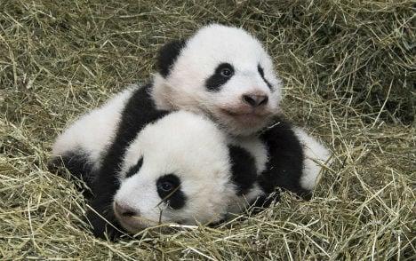 Panda twins 'baptised' at Vienna zoo