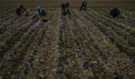 Saffron, rural Spain's crisis-beating spice