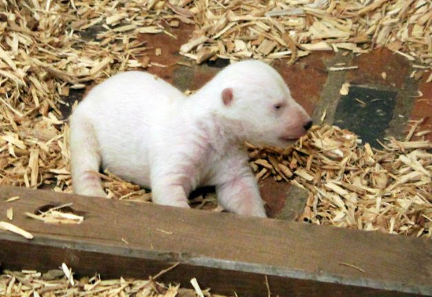 Watch Berlin polar bear cub's adorable first attempts to walk