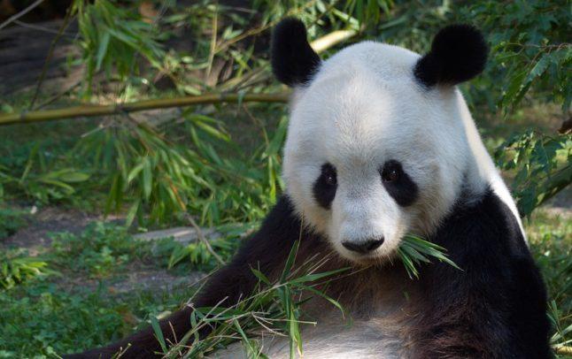 Schönbrunn Panda-Dad dead after tumour op