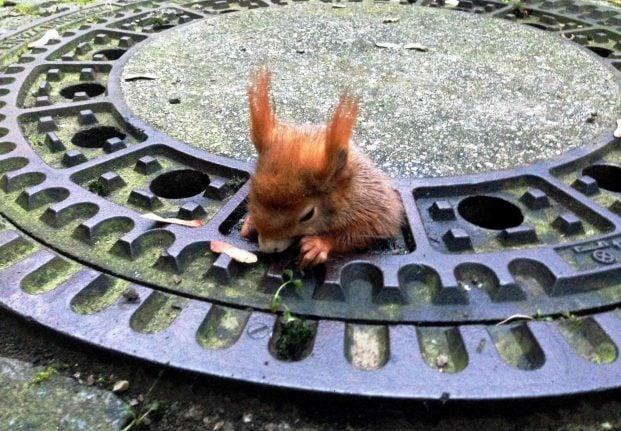 Kardashian-shaped squirrel finally freed from Munich manhole cover