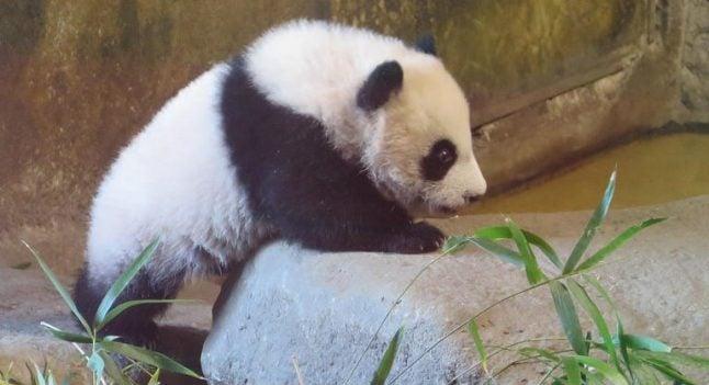 Hello Cutie! Madrid Zoo names its first female panda cub