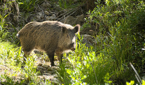 Archers to the rescue in Madrid as boars invade urban areas