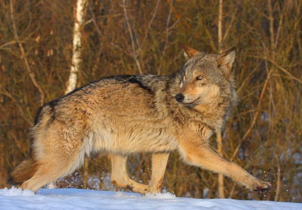 Swedish hunters kill 22 wolves in a week