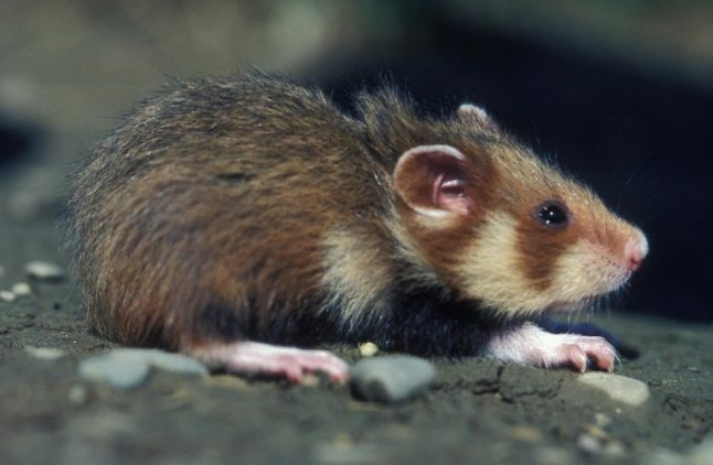 Why French hamsters are turning into cannibals